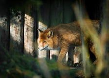 Fox sneaks. In beam of light Stock Photo