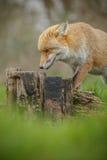 Fox sniffing around royalty free stock photo