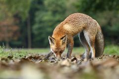 Fox sniffing Stock Images