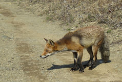 The Fox sniffs the air looking for food Royalty Free Stock Photos