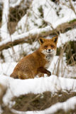 Fox in the snow. A curious young Fox turning his head looking right into the lens Royalty Free Stock Photography