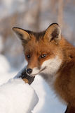 Fox in the snow Royalty Free Stock Photography