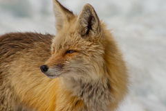 Fox in the Snow Royalty Free Stock Photos