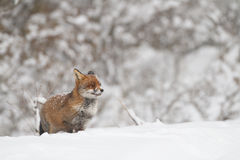 Fox in the snow. A hunting fox in the snow Royalty Free Stock Photography