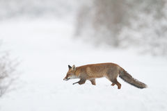 Fox in the snow Stock Image