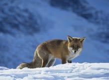 Fox on snow Stock Photography