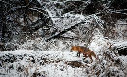 Fox on Snow Covered Field in Forest Stock Photo