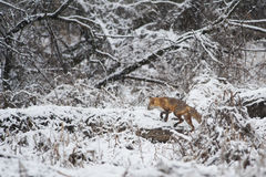 Fox on Snow Field during Winter Royalty Free Stock Photography