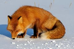 Fox on the snow looking for a mouse trail. Fox, common or red fox Vulpes vulpes is a predatory mammal of the dog family. Red fox is a very common character of royalty free stock image