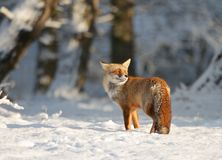 Fox in the snow Stock Photos