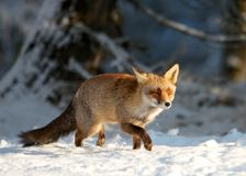Fox snow Royalty Free Stock Photos