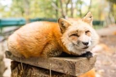 Fox soñoliento foto de archivo