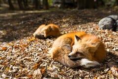 Fox soñoliento imagen de archivo