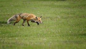 Fox sonnolento fotografia stock libera da diritti