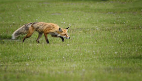 Fox sonolento Foto de Stock Royalty Free