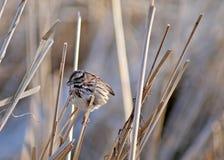 Fox Sparrow 1. A Fox Sparrow in late winter in Northeast Ohio. Taken in March 2009. Scientific name: Passerella iliaca stock photography