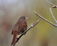 Fox Sparrow Royalty Free Stock Image