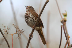 Fox Sparrow Stock Image