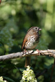 Fox Sparrow Stock Photography
