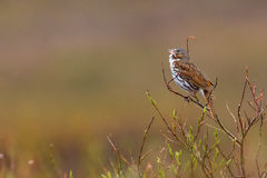 Fox Sparrow. Adult Fox Sparrow Perched and Chirping on Willow Branch Stock Photos