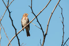 Fox Sparrow. On a branch royalty free stock photo