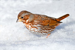 Fox Sparrow Royalty Free Stock Photo