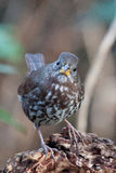 Fox Sparrow. This fox sparrow looks intently into the camera at a local wetland in British Columbia Royalty Free Stock Image