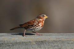 Fox Sparrow (Passerella iliaca) Stock Photography