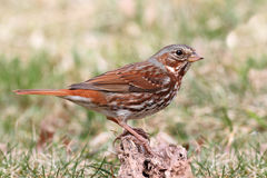 Fox Sparrow (Passerella iliaca) royalty free stock photos
