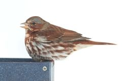 Fox Sparrow Passerella iliaca Royalty Free Stock Photos