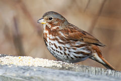 Fox Sparrow Stock Images