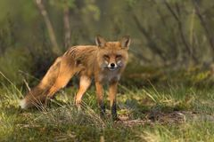 Fox squinting into the sun stock photo
