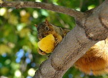 Fox squirrel. A squirrel eating apple on the tree Royalty Free Stock Image