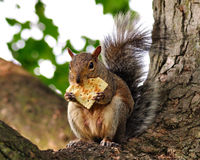 Fox squirrel royalty free stock photo