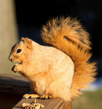 Fox Squirrel. Cute Blond Fox Squirrel Eating a Walnut Stock Images