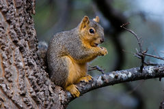 Fox Squirrel Stock Image