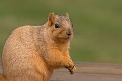 Fox Squirrel. Posing Stock Photography