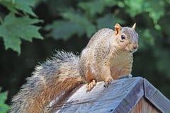 Fox Squirrel on a Bird Feeder in Minnesota Stock Photo