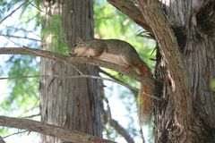 A fox squirrel on the branch of a Cedar Tree in Texas. A fox squirrel climbing out on a Cedar Tree branch, outside a forested area in Texas royalty free stock photography