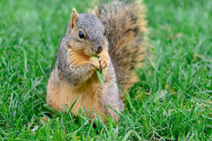 Fox Squirrel Calmly sitting eating a piece of green graass Stock Image