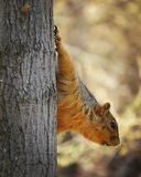 Fox squirrel Royalty Free Stock Images