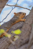 Fox Squirrel Clinging to Tree Limb blue sky background Royalty Free Stock Photos