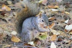 Fox Squirrel royalty free stock image
