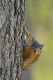 Fox Squirrel with comical curious inquisitive expression while hanging on side of tree. Comical, funny, curious squirrel looking straight forward as it hangs on Royalty Free Stock Photos