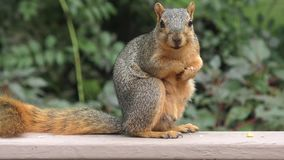 Fox squirrel eating stock footage