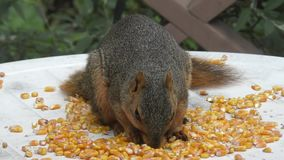 Fox squirrel eating stock video footage