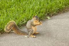 Fox squirrel eating a maple tree see on the patio Royalty Free Stock Photo