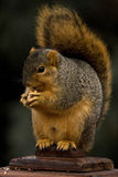 Fox Squirrel Eating A Nut Stock Image
