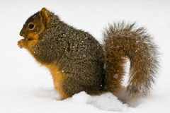 Fox Squirrel Eating A Nut In Snow Royalty Free Stock Image
