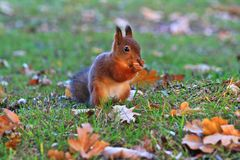 Fox squirrel eating nuts in the autumn park.  royalty free stock image